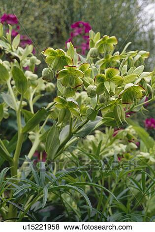 Close Up Of A Stinking Hellebore Stock Photo U15221958 Fotosearch