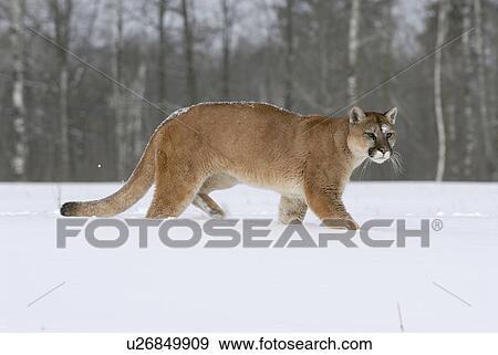 cec72fab6d917 Stock Photo - Mountain Lion (Puma concolor) walking through deep snow