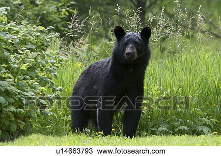Grosse Gräser stock foto amerikanischer schwarzer bär ursus