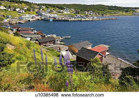Lupines (Lupinus perennis) and fishing sheds in Dildo Harbour, Newfoundland  and Labrador, Canada  Stock Photo