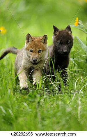 Archivio Immagini , lupo grigio, (canis, lupus), cuccioli, correndo,  attraverso, lungo, grass., animale prigioniero