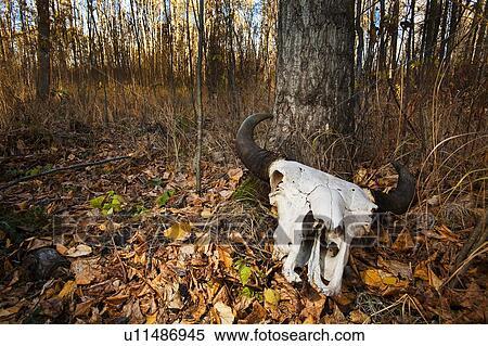 Stock Bild Bison Totenschadel Auf Wald Fussboden Wahrend