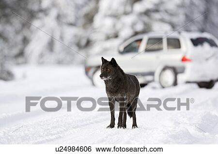 Delinda, alpha female of the Bow Valley Wolf Pack, (Canis lupus) on the  highway in winter in Banff National Park, Alberta in the Canadian Rockies