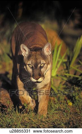 f981d0b8a07 Stock Image - Florida Panther (Puma concolor coryi) endangered species in  saw palmetto &