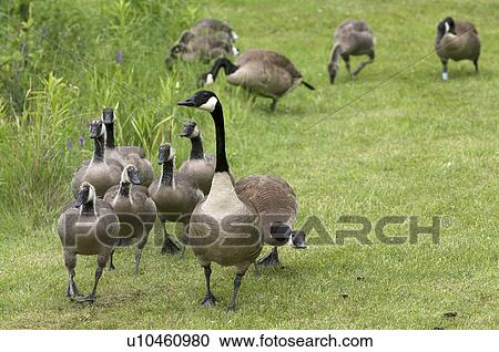 ef52d8f7d25 Stock Image - Canada Goose (Branta canadensis) Adult Parent with young  goslings. Thunder