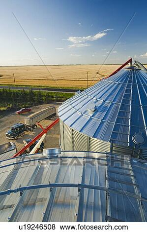 Cose up of grain storage bins and farm truck loaded with oats during the  harvest, with wheat field in the background, near Lorette, Manitoba, Canada