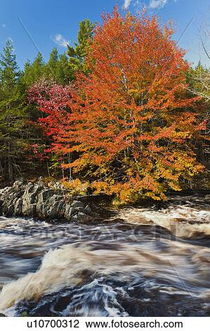 Sugar Maple Acer Saccharum Stands Along Mersey River Fall Near