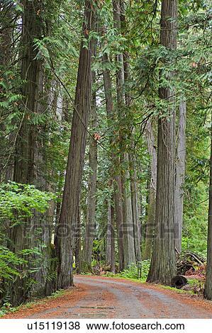 Bilder Wald Strasse Drucken Zwischen Gross Rot Zeder Baume