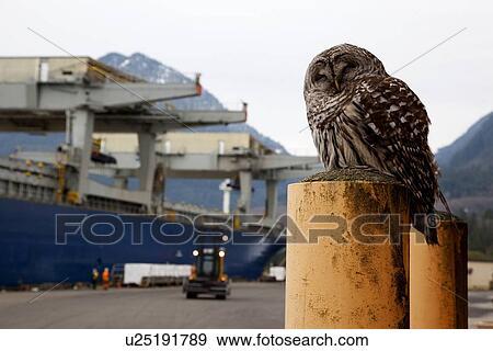Barred Owl at Wharf, Shiploading Pulp, Port Mellon, Howe Sound, Sunshine  Coast, B  C , Canada Stock Photo