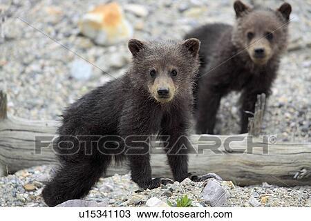 stock foto - grizzly beer, jong, jonge, van, jaar u15341103 - zoek