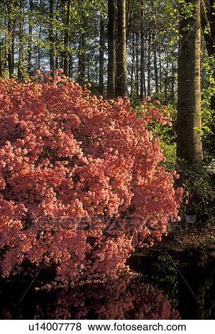 Azalea, Callaway Gardens, Pine Mountain, Georgia, GA, Azaleas In Bloom In  The Spring At Callaway Gardens In Pine Mountain.