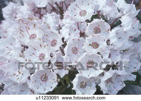 Stock photography of mountain laurel flower spring ga georgia a mountain laurel flower spring ga georgia a close up of a cluster of white flowers with red stripes called mountain laurel in north georgia mightylinksfo