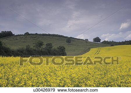 Fiori Gialli Borgogna.Campo Giallo Francia Borgogna Bourgogne Europa Uno Campo Di