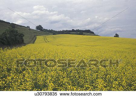 Fiori Gialli Borgogna.Francia Borgogna Bourgogne Europa Uno Campo Di Fiori Gialli
