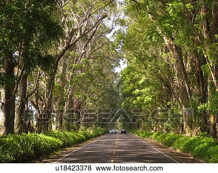 Mahagonibäume  Bilder - koloa, kauai, hallo, hawaii, süden, ufer, sumpf, mahagoni ...