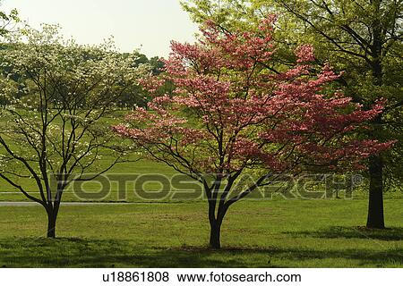 Valley Forge Pa Pennsylvania National Historical Park Pink And White Dogwood Trees Stock Photo