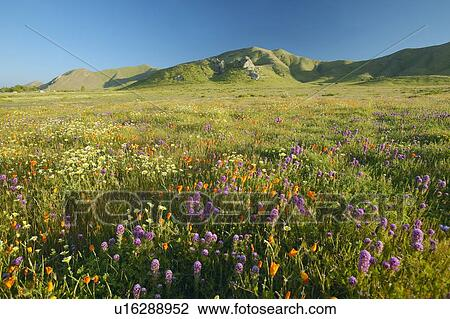 Stock photo of bright spring yellow flowers desert gold and bright spring yellow flowers desert gold and california poppies near the mountains in the carrizo national monument the us department of interior mightylinksfo