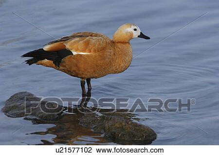 new styles a782b 300cd Vogel, ente, ferruginea, gans, huwiler, see, rost, gans Stock Bild