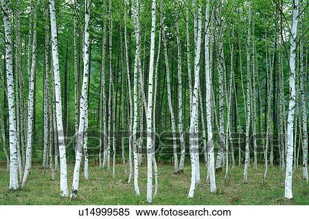 banque d 39 image bouleau blanc arbres dans a for t u14999585 recherchez des photos des. Black Bedroom Furniture Sets. Home Design Ideas
