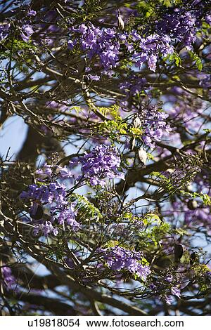 Close Up Of Jacaranda Tree Blooming With Purple Flowers In Maui