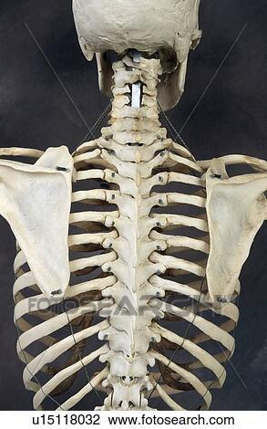 Stock Photo of Human skeleton Back u15118032 - Search Stock ...