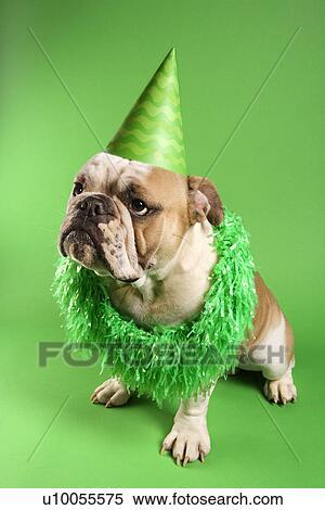 Engels Bulldog Met Ernstige Uitdrukking Vervelend Lei