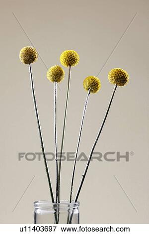 Picture of yellow ball shaped flowers u11403697 search stock yellow ball shaped flowers mightylinksfo
