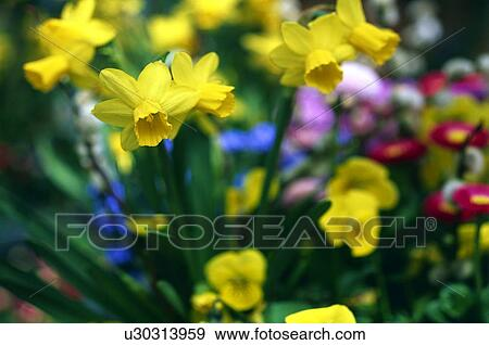 Daffodils And Spring Flowers Stock Photo U30313959 Fotosearch