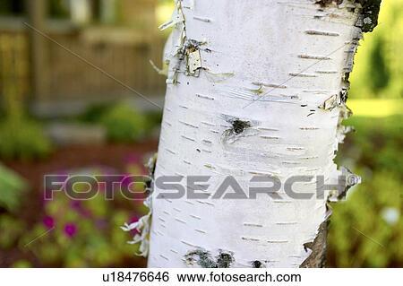 Colección de imágenes - detalle, de, abedul blanco, tronco de árbol ...