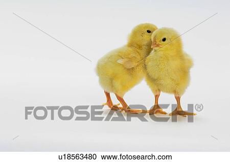 Stock Photography Of Yellow Chicks Baby Chickens U18563480