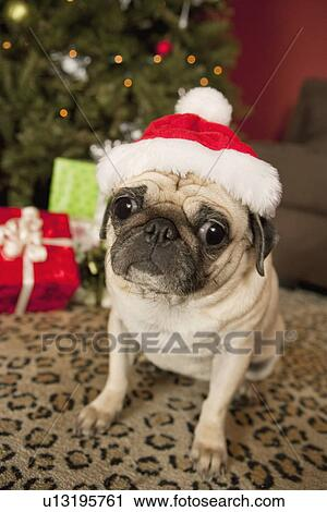 Stock Photography Of Pug In Santa Claus Hat Sitting On Carpet
