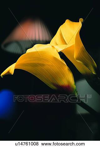 Plante Fleur Trompette Fleur Jaune Lampe Banque De Photo
