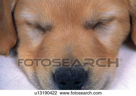 Stock Photo Of A Sleeping Golden Retrievers Face Front View