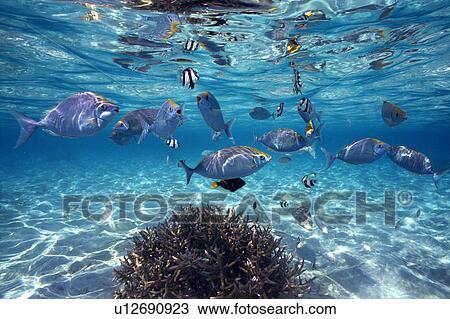 stock foto gesellschaft von fische schwimmen in dass meer u12690923 suche stock. Black Bedroom Furniture Sets. Home Design Ideas