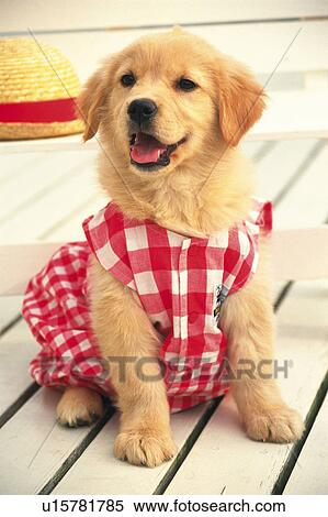 Stock Image Of Golden Retriever Wearing A Red Colored Dog Suite