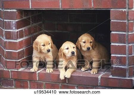 Stock Photography Of Three Golden Retriever Standing In A Red