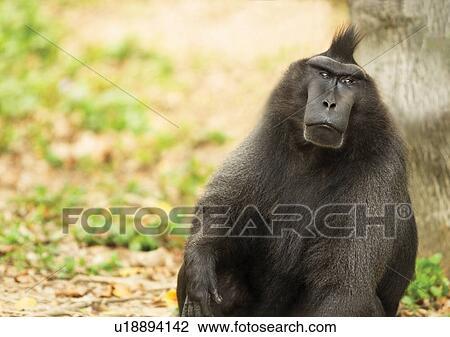 stock photo of attitude black ape u18894142 search stock