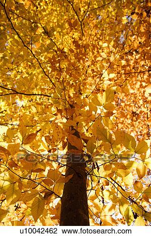 American Beech Tree Branches Covered With Yellow Fall Leaves Stock Image U10042462 Fotosearch