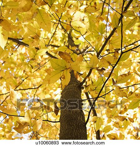 Close Up Of American Beech Tree Branches Covered With Bright