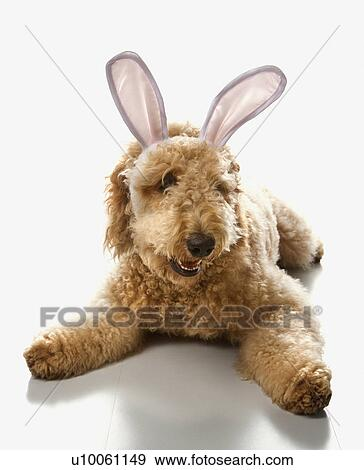 Goldendoodle Dog In Bunny Ears Stock