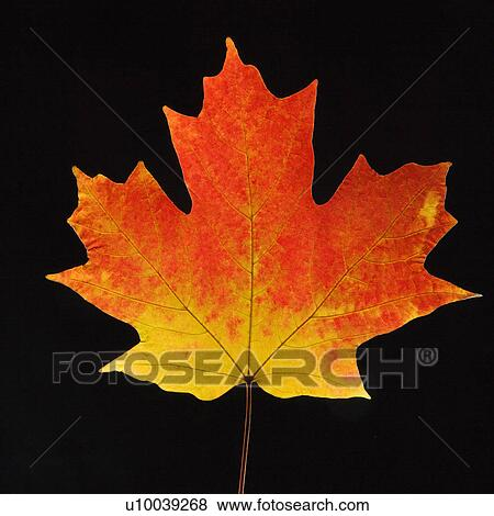 Pictures Of Sugar Maple Leaf Against Black Background