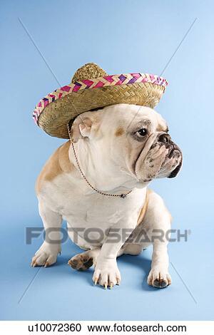 Engels Bulldog Vervelend Sombrero Op Blauwe Achtergrond