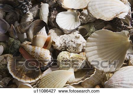 ピクチャー - 巻き貝の殻, 腹足...