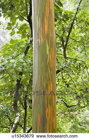 stock photograph of close up of rainbow eucalyptus tree maui