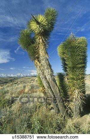 Banques De Photographies Joshua Arbre Desert Fleur Yucca