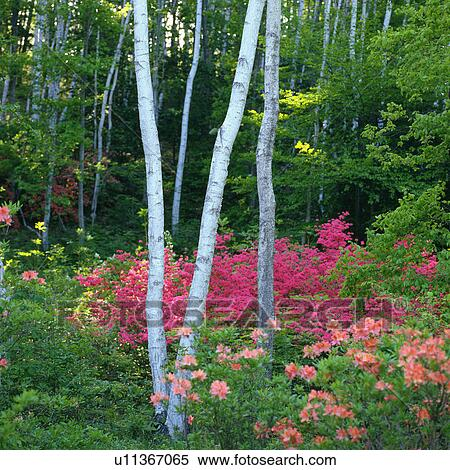 Stock image of several white colored tree trunks surrounded by a lot several white colored tree trunks surrounded by a lot of pink colored flowers front view nagano prefecture japan mightylinksfo