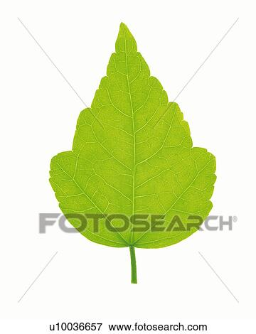Picture of One Single Light Green Leaf on a White Surface, High ...