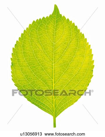 Stock Photo of One Single Light Green Leaf on a White Surface, High ...