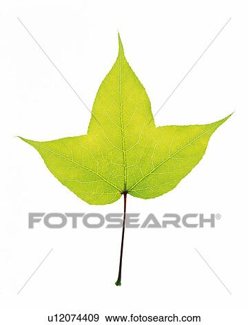 Stock Photograph of One Single Light Green Leaf on a White Surface ...