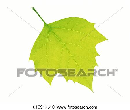 Stock Photography of One Single Light Green Leaf on a White Surface ...